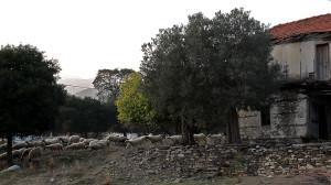 ολυμπιαδα-προβατα